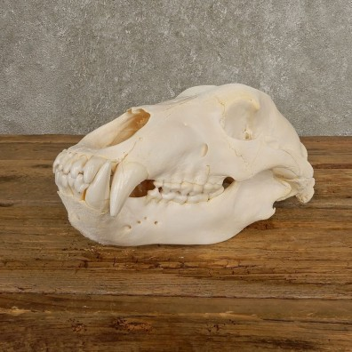 Inland Grizzly Bear Skull Mount For Sale #20505 @ The Taxidermy Store