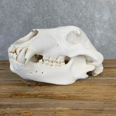 Inland Grizzly Bear Skull Mount For Sale #21219 @ The Taxidermy Store