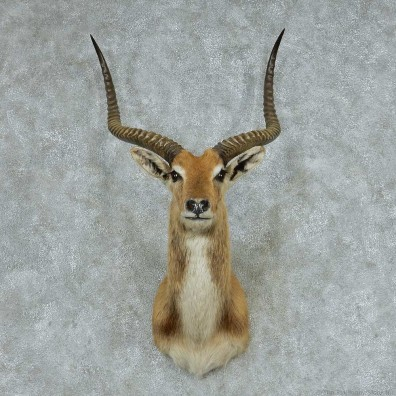 Kafue Flats Lechwe Shoulder Mount #13747 For Sale @ The Taxidermy Store