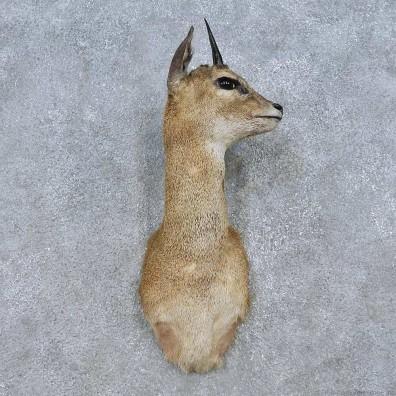 African Klipspringer Shoulder Mount For Sale #15051 @ The Taxidermy Store