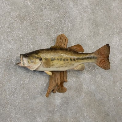 Largemouth Bass Fish Mount For Sale #20135 @ The Taxidermy Store