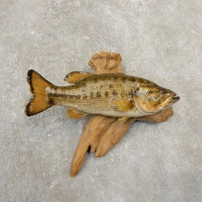 Largemouth Bass Fish Mount For Sale #20838 @ The Taxidermy Store