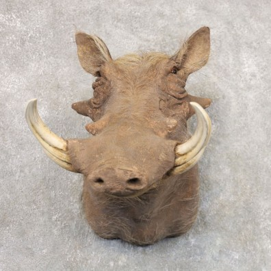 Laterite Warthog Shoulder Mount For Sale #22525 @ The Taxidermy Store