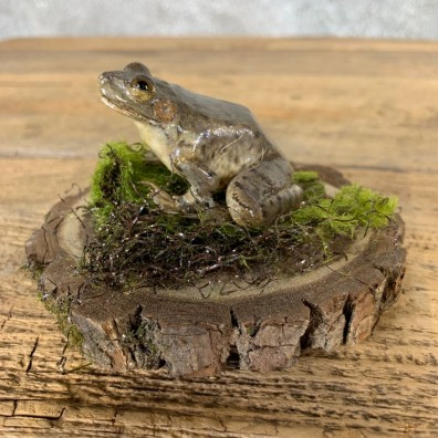 Leopard Frog Taxidermy Mount For Sale #21553 @ The Taxidermy Store