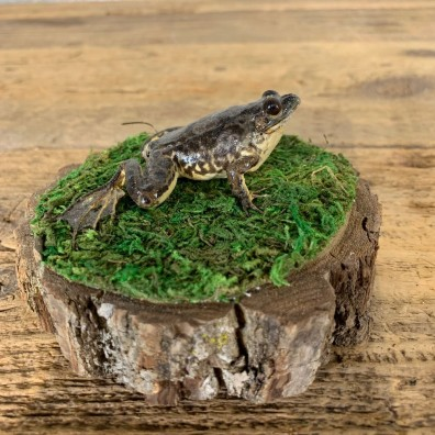 Leopard Frog Taxidermy Mount For Sale #21554 @ The Taxidermy Store