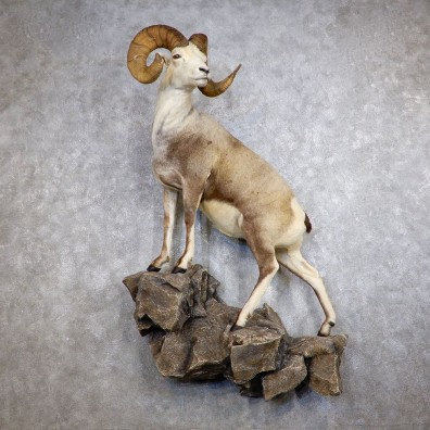 Fannin Sheep Life Size Taxidermy Mount #18748 For Sale - The Taxidermy Store