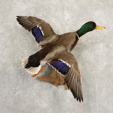 Mallard Duck Bird Mount For Sale #20703 - The Taxidermy Store