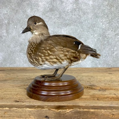 Mandarin Duck Bird Mount For Sale #22070 @ The Taxidermy Store