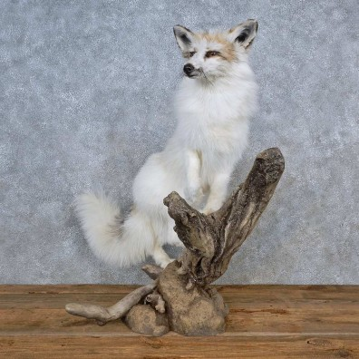 Marble Arctic Fox Mount For Sale #15578 @ The Taxidermy Store