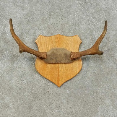 Moose Antler Plaque For Sale #16229 @ The Taxidermy Store