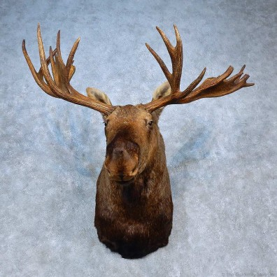 Alaskan Moose Shoulder Mount For Sale #15322 @ The Taxidermy Store