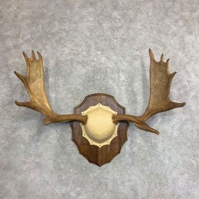 Moose Antler Taxidermy Plaque For Sale