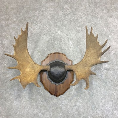 Moose Antler Plaque For Sale #21935 @ The Taxidermy Store