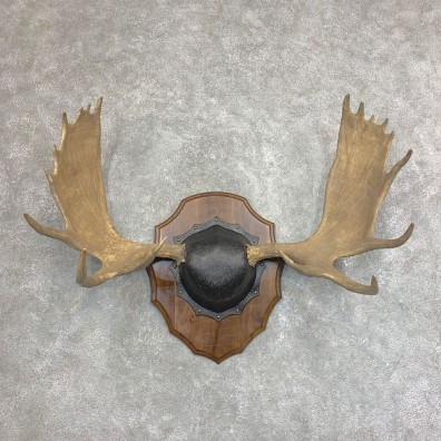 Moose Antler Plaque For Sale #21938 @ The Taxidermy Store