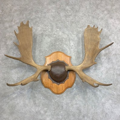 Moose Antler Plaque For Sale #21941 @ The Taxidermy Store