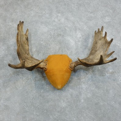 Moose Antler Plaque Mount For Sale #18372 @ The Taxidermy Store