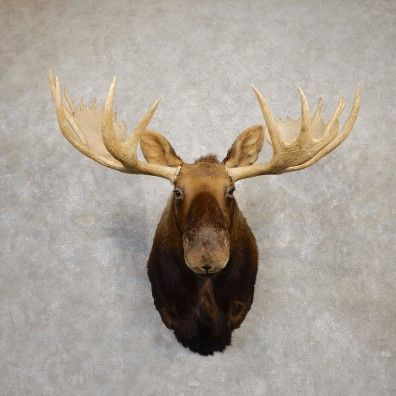 Moose Shoulder Mount For Sale #19936 @ The Taxidermy Store