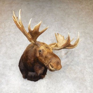 Moose Shoulder Mount For Sale #21090 @ The Taxidermy Store