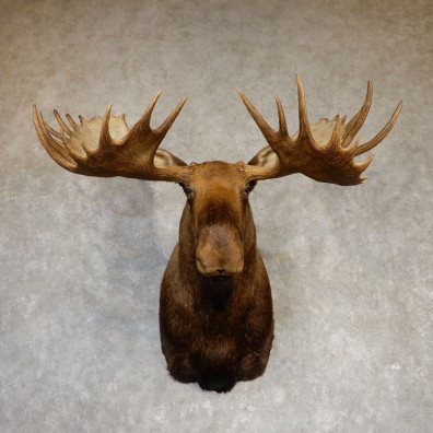 Moose Shoulder Taxidermy Mount For Sale #20216 - The Taxidermy Store