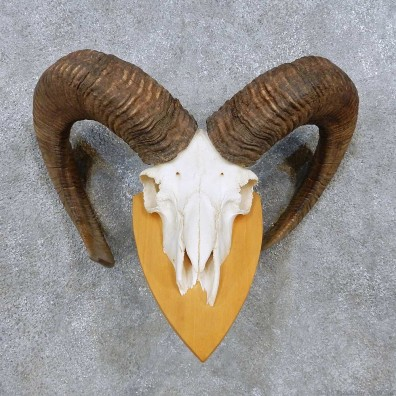 Mouflon Ram Skull European Mount For Sale #14487 @ The Taxidermy Store
