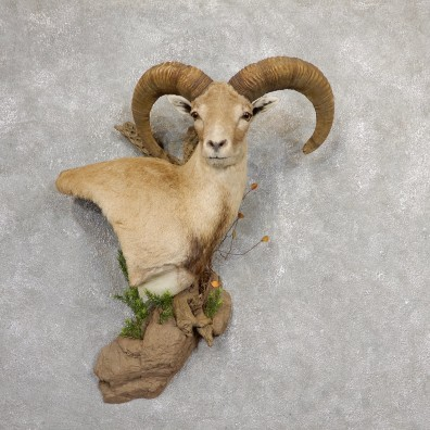 Mouflon Sheep Shoulder Mount #19055 For Sale @ The Taxidermy Store