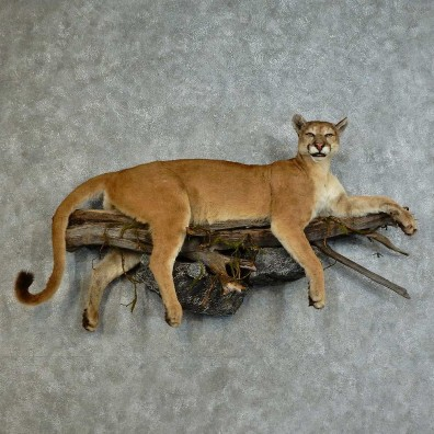 Mountain Lion Life-Size Mount For Sale #16139 @ The Taxidermy Store