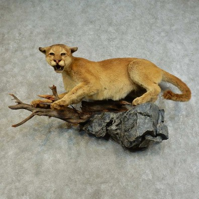 Mountain Lion Life-Size Mount For Sale #16282 @ The Taxidermy Store