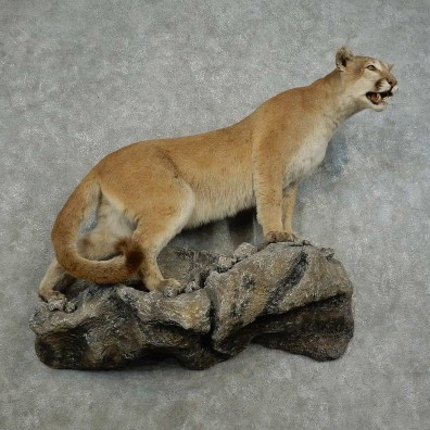 Mountain Lion Life-Size Mount For Sale #16868 @ The Taxidermy Store