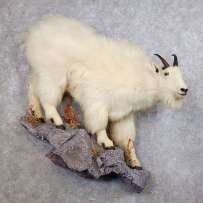 Mountain Goat Life-Size Mount For Sale #18751 @ The Taxidermy Store