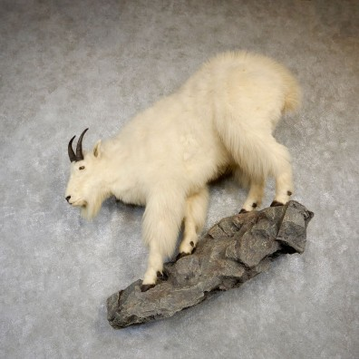 Mountain Goat Life-Size Mount For Sale #18759 @ The Taxidermy Store
