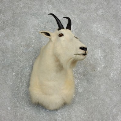 Mountain Goat Shoulder Mount For Sale #17769 @ The Taxidermy Store