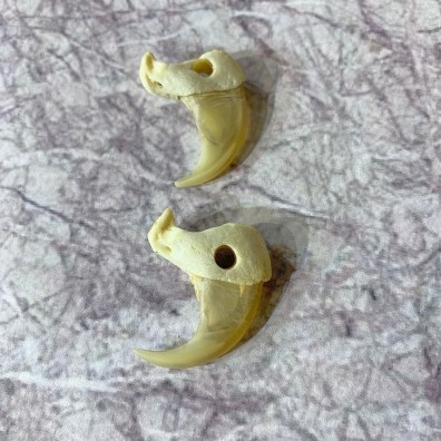 Mountain Lion Cougar Taxidermy Authentic Claws #21919 For Sale @ The Taxidermy Store