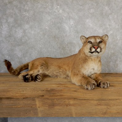 Mountain Lion Life-Size Mount For Sale #19041 @ The Taxidermy Store