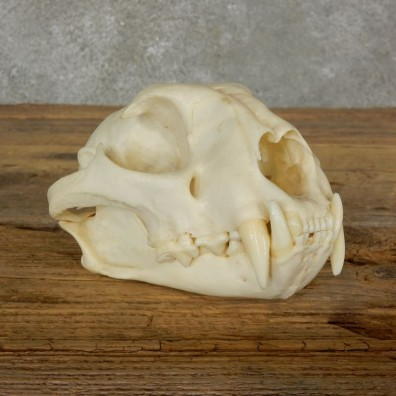 Mountain Lion Cougar Full Skull For Sale #17062 @ The Taxidermy Store