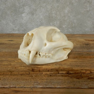 Mountain Lion Cougar Full Skull For Sale #17093 @ The Taxidermy Store