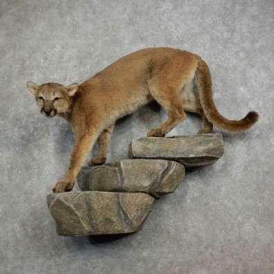 Mountain Lion Life-Size Mount For Sale #18221 @ The Taxidermy Store