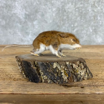 Mouse Life-Size Mount For Sale #21562 @ The Taxidermy Store