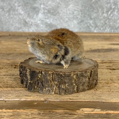 Mouse Life-Size Mount For Sale #21572 @ The Taxidermy Store