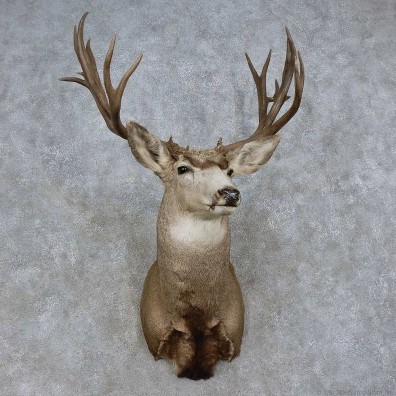 Mule Deer Shoulder Mount For Sale #15720 @ The Taxidermy Store