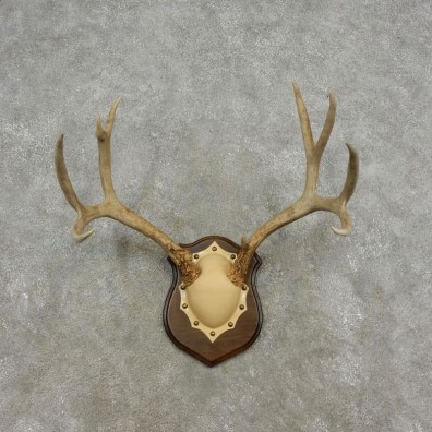 Mule Deer Taxidermy European Antler Plaque #17304 For Sale @ The Taxidermy Store