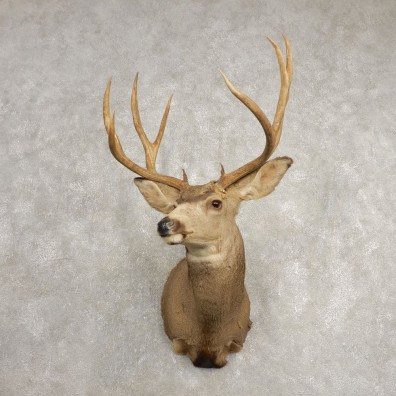 Mule Deer Shoulder Mount For Sale #20468 @ The Taxidermy Store