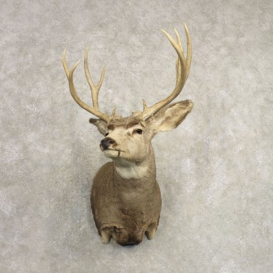 Mule Deer Shoulder Mount For Sale #20491 @ The Taxidermy Store