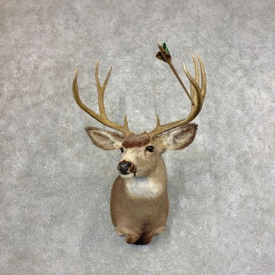 Mule Deer Shoulder Mount For Sale #21532 @ The Taxidermy Store