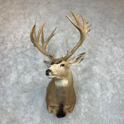 Mule Deer Shoulder Mount For Sale #22082 @ The Taxidermy Store