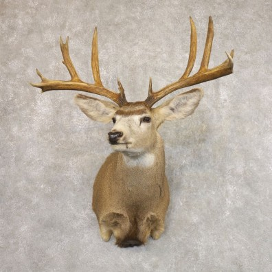 Mule Deer Shoulder Mount For Sale #22172 @ The Taxidermy Store