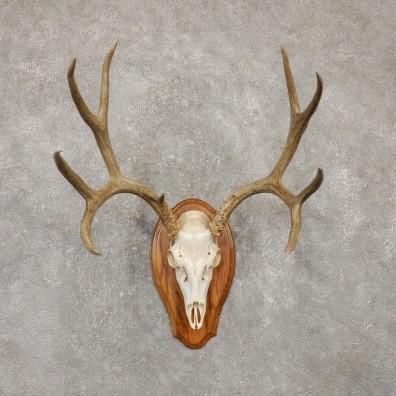 Mule Deer Skull Antler European Mount For Sale #20155 @ The Taxidermy Store