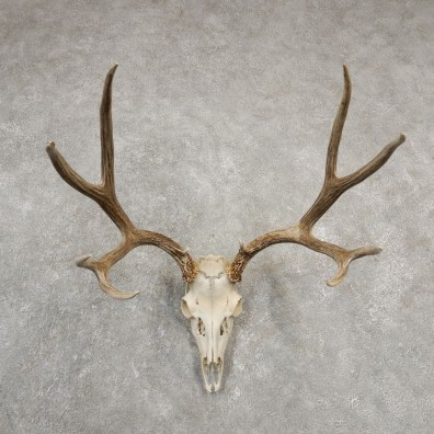 Mule Deer Skull European Mount For Sale #20549 @ The Taxidermy Store