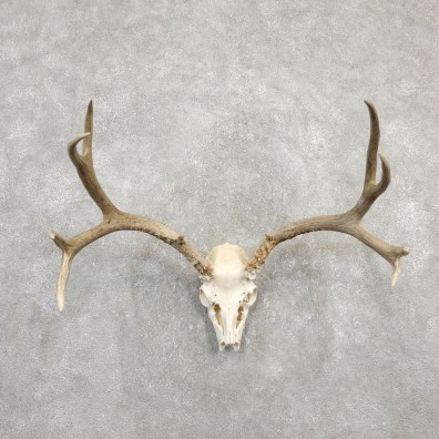 Mule Deer Taxidermy Antler Plaque Mount #20306 For Sale @ The Taxidermy Store
