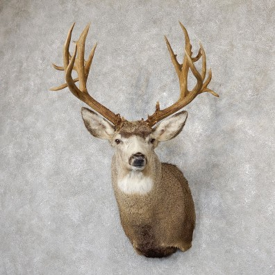 Mule Deer Taxidermy Shoulder Mount For Sale #19297 @ The Taxidermy Store