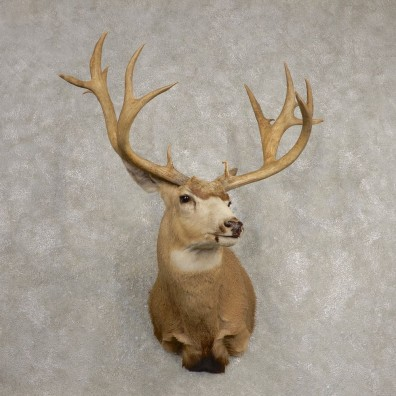 Mule Deer Taxidermy Shoulder Mount For Sale #20467 @ The Taxidermy Store